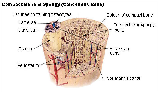 Skeletal System – Skeletons, Joints & Bones - part one (3/6)