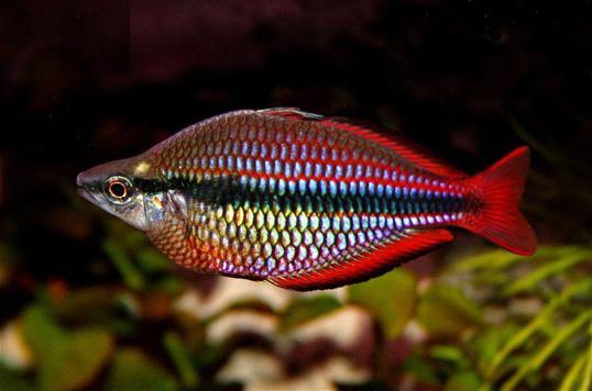 Banded Rainbowfish - Melanotaenia trifasciata