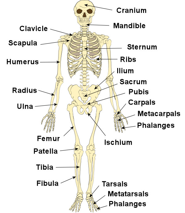 Skeletal System – Skeletons, Joints & Bones - part one (1/6)