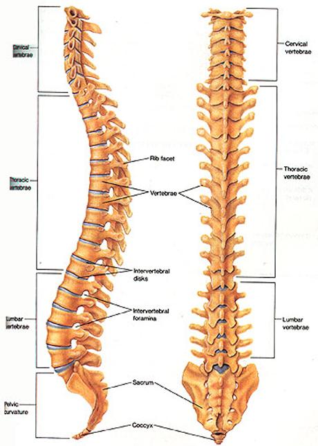 human vertebrae, vertebral column
