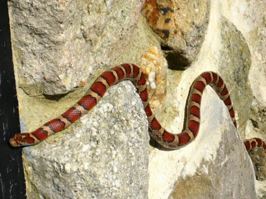 Red-with-Golden-Colored-Snake-