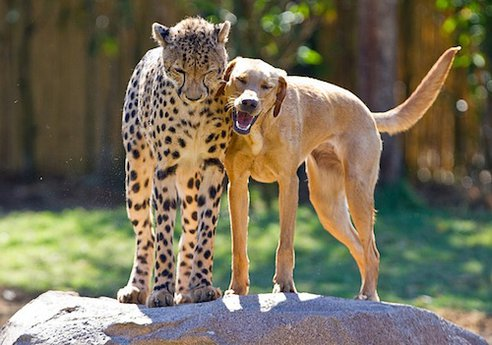 cheetah n dog