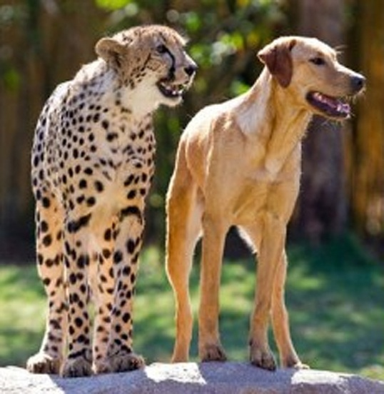 Labrador Dog and Cheetah
