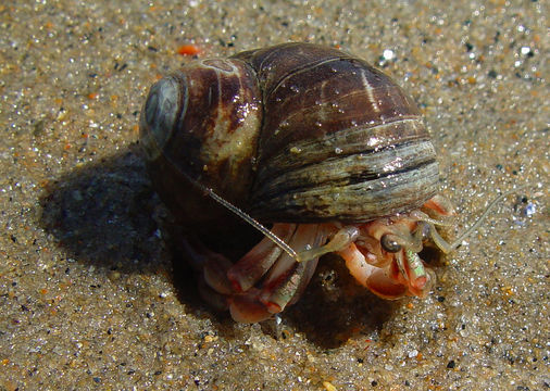 grey hermit crab