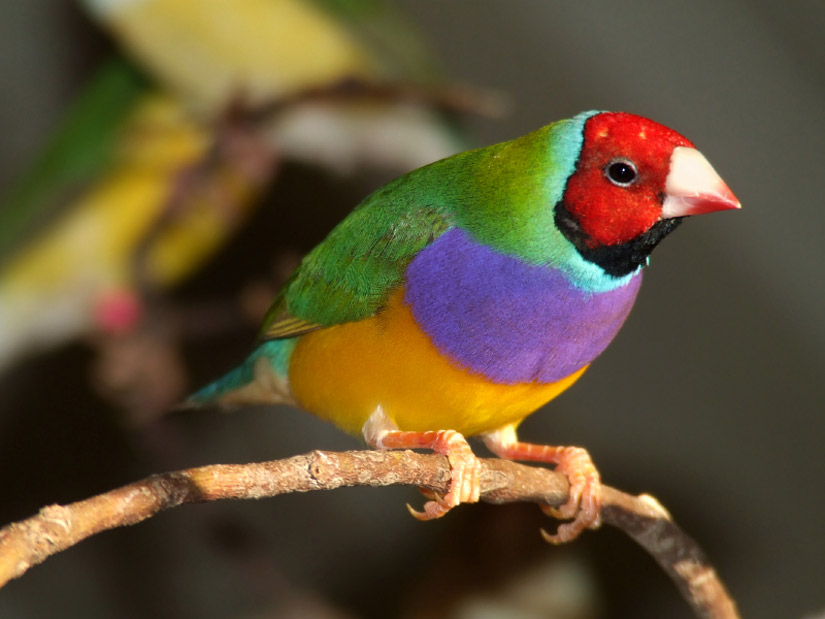 erythrura gouldiae also known as the lady gouldian finch the