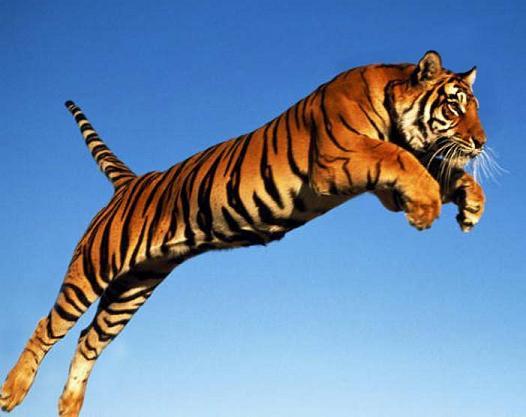 Kết quả hình ảnh cho how far can tigers jump