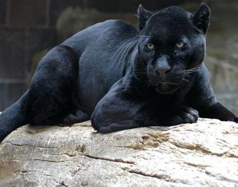 What is a Panther / Black Panther ? (2/3)