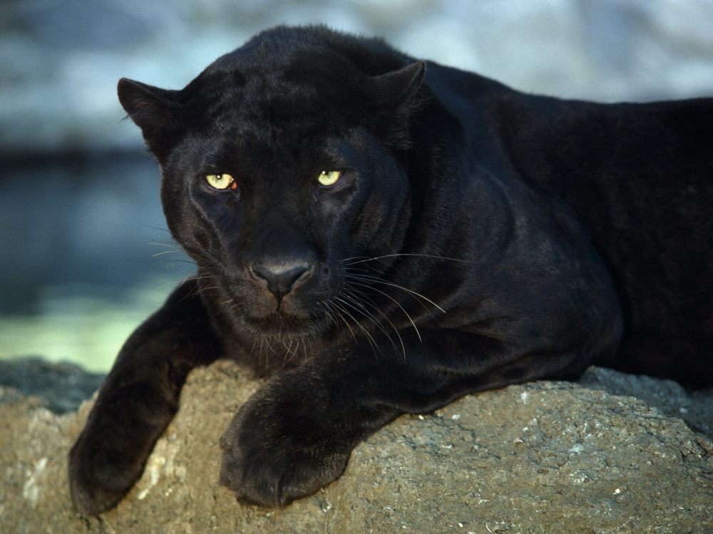 What is a Panther / Black Panther ? (3/3)