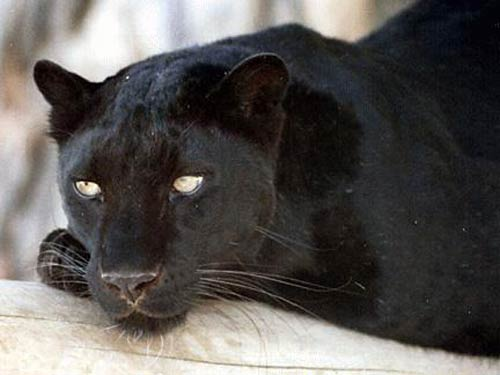 What is a Panther / Black Panther ? (1/3)
