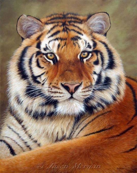 siberian-tiger-6
