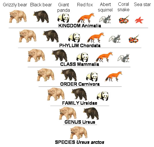 Cladograms & Evolution – We are all related | Fascinating ... Bear Species Chart