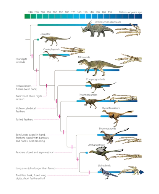 Dinosaurs to Birds Cladogram