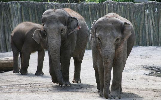 Borneo_elephants at Oregon Zoo