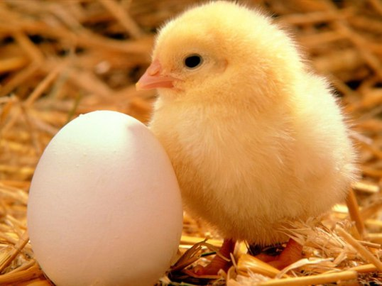 Chicken and egg