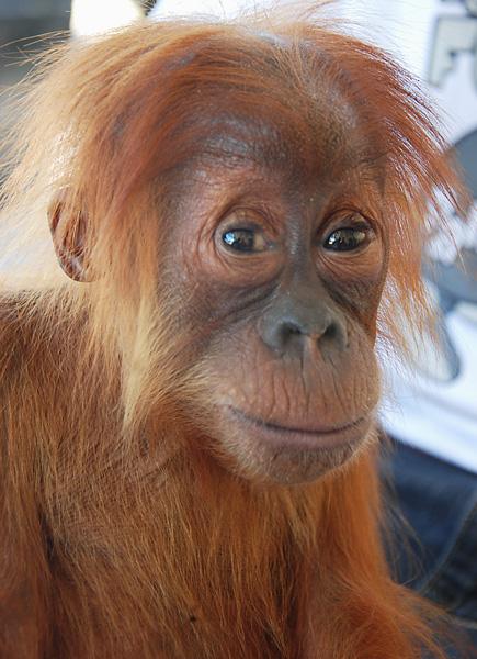 chocolate the orang-utan