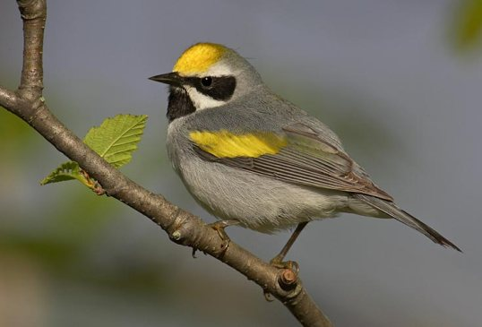 golden-winged-warbler_robert-royce