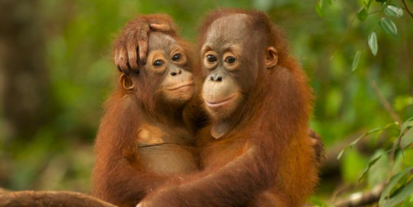 orangutan youngsters