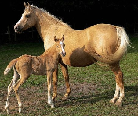 Palomino_Mare_and_Foal