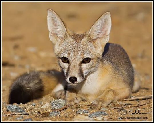 The San Joaquin Kit Fox