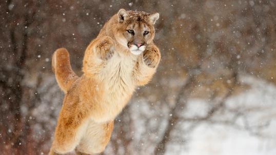 Cougar (Felis concolor)- captive in winter habitat