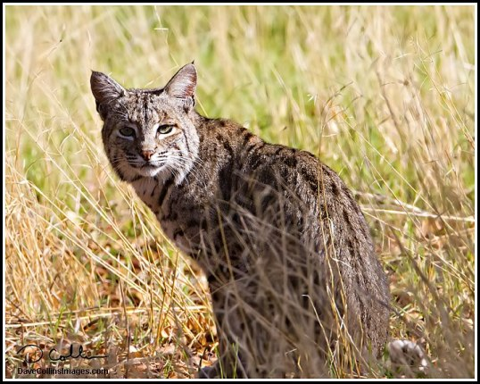 Bobcat by Dave Collins
