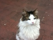 Shandy cat