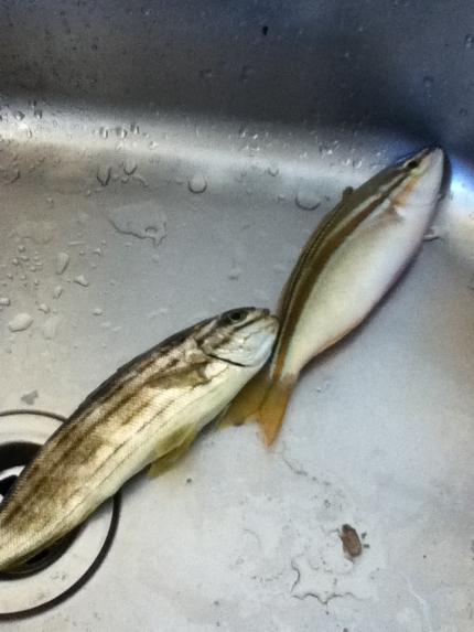 Shandys fish