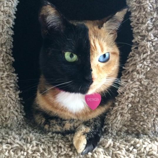 Venus - the Chimera Cat