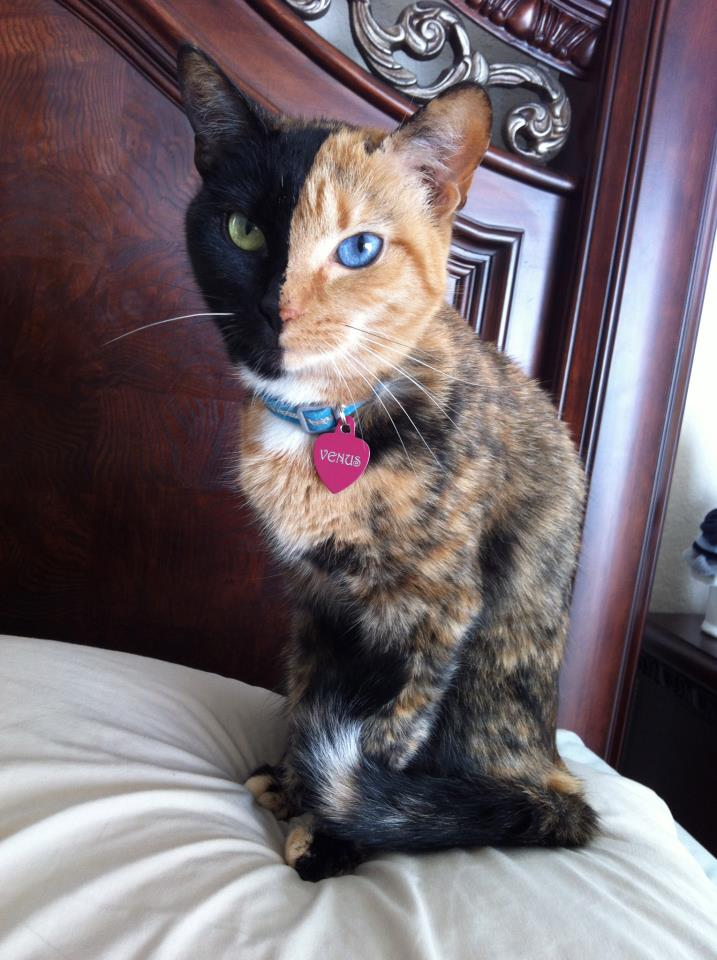 pet kitty costumes