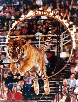 circus-tiger-burning-hoop-323x425
