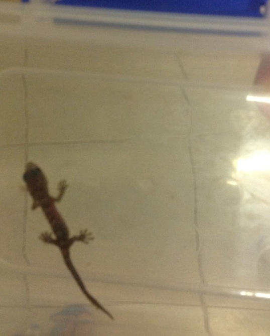 BabyGecko2
