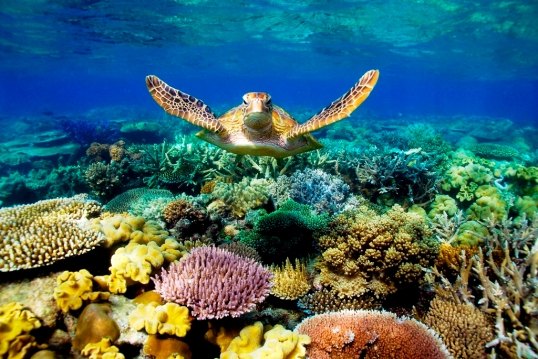 turtle_Great_Barrier_Reef