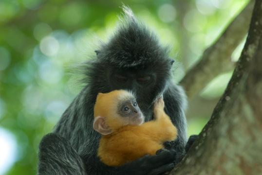 Silvered Leaf Monkeys