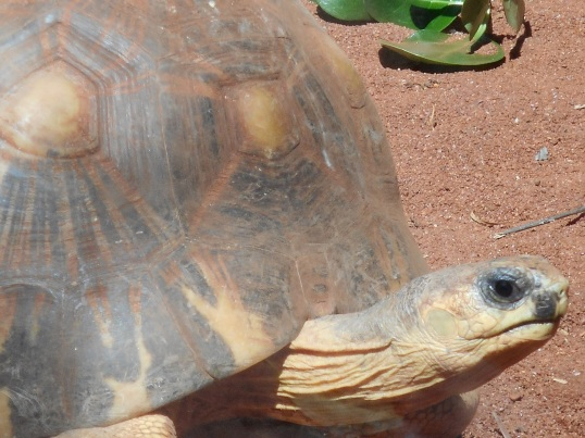 RADIATED TORTOISE 1