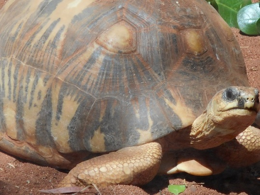 RADIATED TORTOISE 2