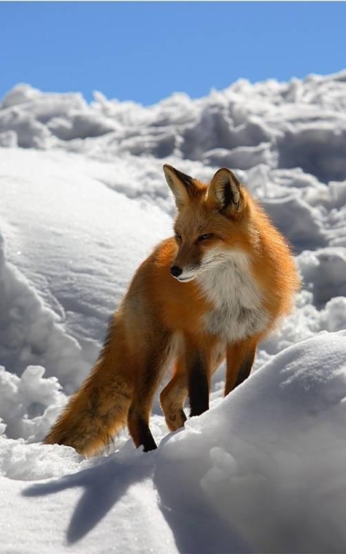 winterfox