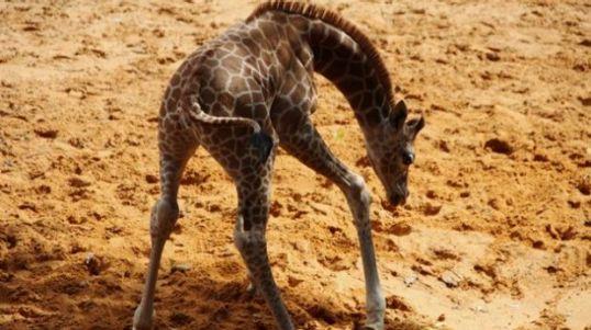 Kamili baby giraffe